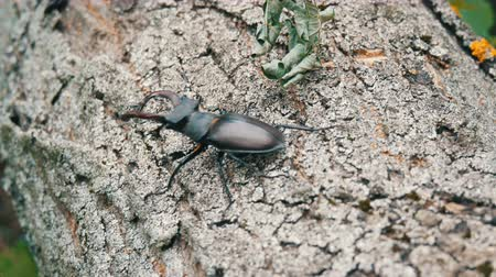 stag beetle : Large beetle Lucanus cervus creeps along the bark of tree.
