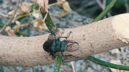 boynuzları : Large beetle Lucanus cervus creeps along the bark of tree.