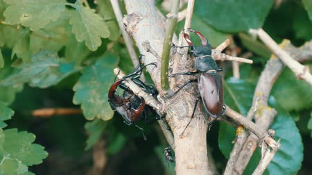 stag beetle : Big deer beetles Lucanus cervus creep along tree. Rare beetles in the forest