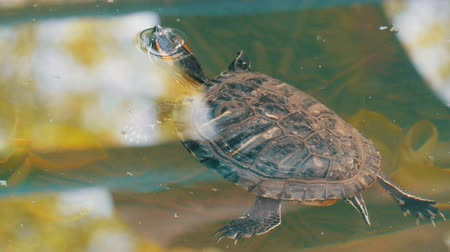 красный : Turtle stuck her head out of the water. Turtle in the park in an artificial pond