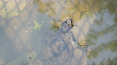 yeşilbaş : Turtle stuck her head out of the water. Turtle in the park in an artificial pond