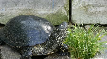 mortality : Large black turtle sits in a park Stock Footage