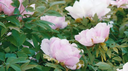 kırılganlık : Large beautiful pink peonies in park