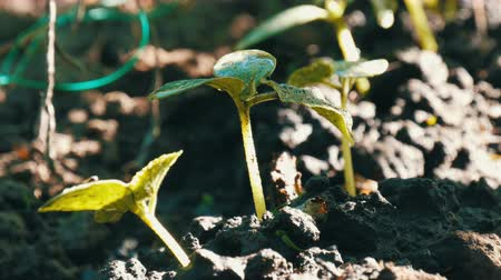 beringela : Young sprouts just germinated cucumber plants in a soil close up view