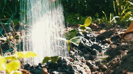 meşe palamudu : Close-up shot of watering cucumber sprout. Drops falling on the plant. Farming and agriculture Stok Video