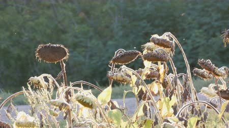 crescido : Heads of dried sunflowers in a field against the backdrop of a sunset autumn sun. Many ripened dry sunflowers, autumn harvest