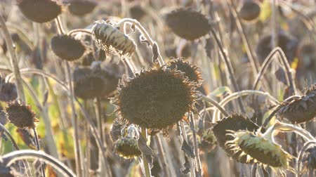 moribundo : Heads of dried sunflowers in a field. Many ripened dry sunflowers, autumn harvest