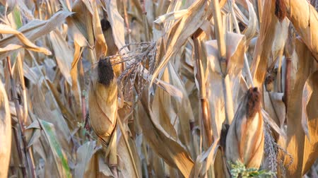 dry stalks : Lot of dried corn on the field. Yellow ripe corn growing on the stalk in the open air close up view