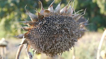 haldokló : Dry ripe sunflower on the field close up view