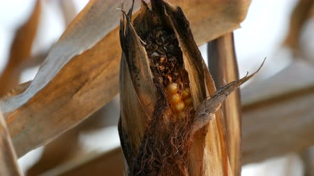 dry stalks : Dried corn on the field. Yellow ripe corn growing on the stalk in the open air close up view