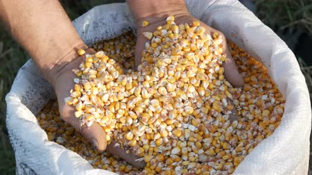 zabkása : Farmers hands touch the corn harvest. A bag of yellow corn kernels. Crop harvested corn close up view