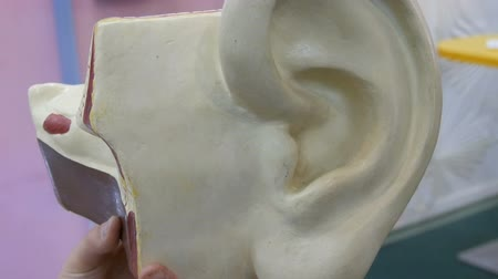 maquette : Toy model of the anatomical structure of the human ear. Artificial mock-up of the human organ of hearing