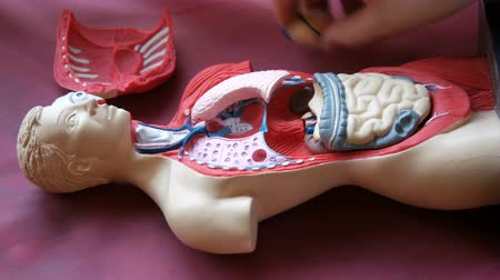 bowels : Toy model of the anatomical structure of the human body. The hands of a teenager disassemble artificial human internal organs, muscles, thorax, ruber, intestines, lungs, kidneys, heart Stock Footage