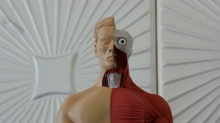 bowels : Toy model of the anatomical structure of the human body. Artificial mock-up of man Stock Footage