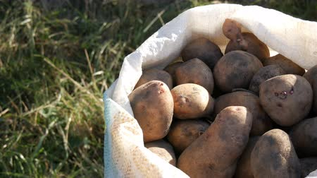amido : Large potatoes in bag. Huge potato harvest close up view
