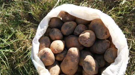 çuval : Large potatoes in bag. Huge potato harvest close up view