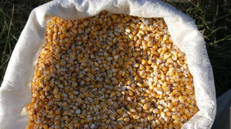 oat flakes : A bag of yellow corn kernels. Crop harvested corn close up view