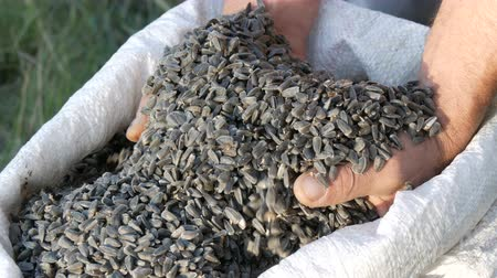 kabuksuz tahıl : Mens hands of a farmer plunge into a crop of sunflower seeds. Harvest of sunflower seeds. Sunflower seeds in large white bag close up view