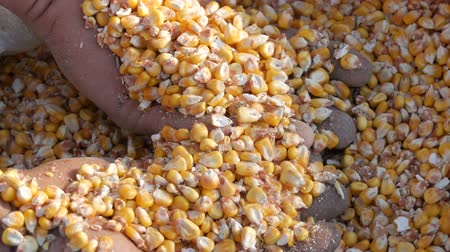 otruby : Farmers hands touch the corn harvest. A bag of yellow corn kernels. Crop harvested corn close up view