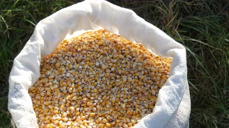 otruby : A bag of yellow corn kernels. Crop harvested corn close up view