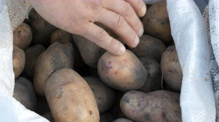 amido : Mens hands touch potatoes. Large potatoes in bag. Huge potato harvest close up view Stock Footage