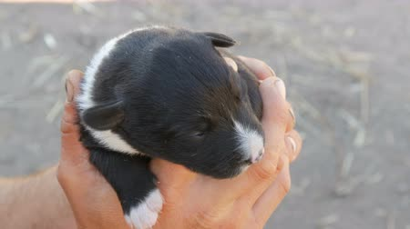 tremble : Little blind newborn puppy in hands of a man. Near runs mom of puppy Stock Footage