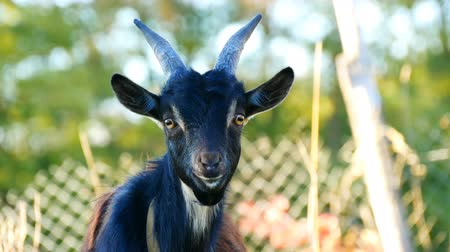 boynuzları : Funny black young goat grazes on the grass in a village
