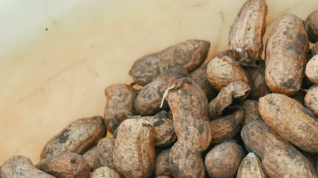 packet : Freshly harvested peanuts from the ground in shell. Peanut harvest close up view