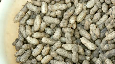 ve slupce : Freshly harvested peanuts from the ground in shell. Peanut harvest close up view