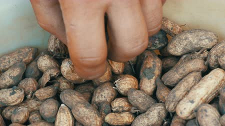 ve slupce : Dug out of the ground peanuts in a shell. Male hands takes peanuts Dostupné videozáznamy