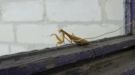 marigolds : Aggressive pregnant female yellow mantis religiosa raises paws and tail with a stomach on old window Stock Footage