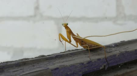 raises : Aggressive pregnant female yellow mantis religiosa raises paws and tail with a stomach on old window Stock Footage