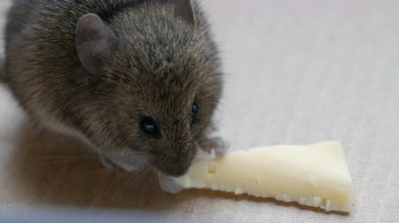 szczur : House gray mouse eating piece of cheese in a cardboard box