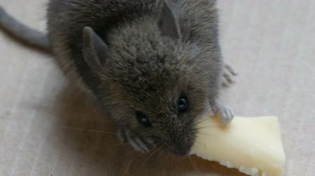 bolinho : Close up view of muzzle house gray mouse eating piece of cheese in a cardboard box