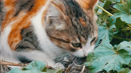 destino : Tricolor cat eats caught mouse in yard Vídeos