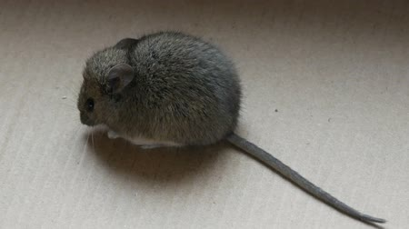bolinho : House gray mouse sits in a cardboard box Vídeos