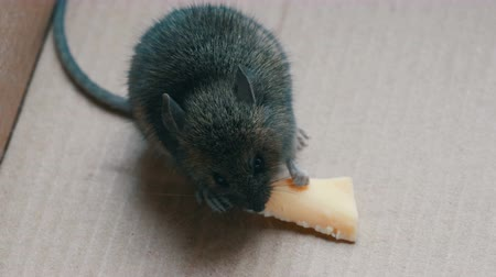 bolinho : House gray mouse eating piece of cheese in a cardboard box