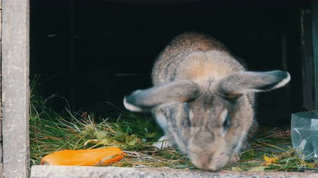 tombul : Funny gray big rabbit looks around in an open cage near big carrot. Easter concept Stok Video