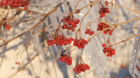 rampouch : Branches with red viburnum on the background of group of beautiful picturesque icicles sparkling and shimmering melt in the sun