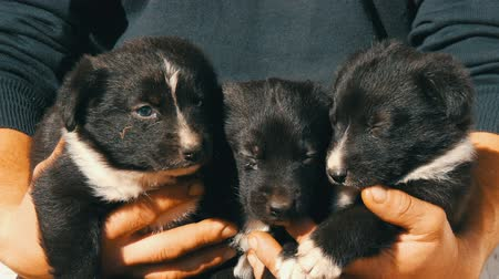 buldog : Three little funny puppies in man in his arms. Black playful puppies with an interesting white coloring