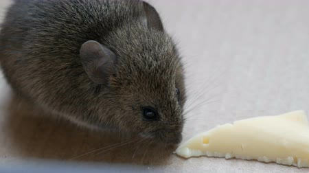 rodent control : House gray mouse eating piece of cheese in a cardboard box