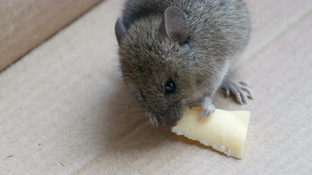 szczur : Little house mouse eating cheese in carton box Wideo
