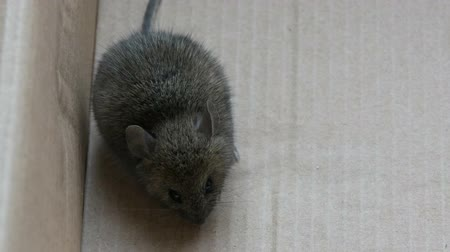 rodent control : House gray mouse sits in a cardboard box Stock Footage