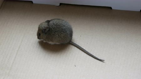 fare : House gray mouse sits in a cardboard box Stok Video