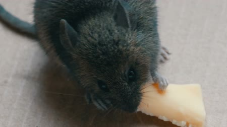 rodent control : Close up view of muzzle house gray mouse eating piece of cheese in a cardboard box