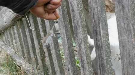 rodent control : Hungry cat sticks his paws through the fence trying to catch a mouse that a man holds by the tail