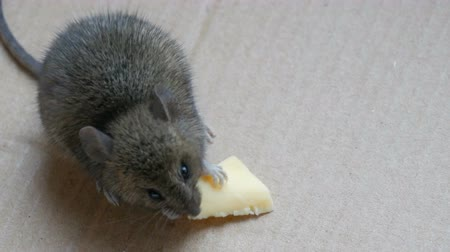 rodent control : Little house mouse eating cheese in carton box Stock Footage
