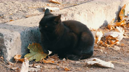 superstition : Stern black cat with bright yellow eyes sitting on the street surrounded by fallen autumn leaves Stock Footage