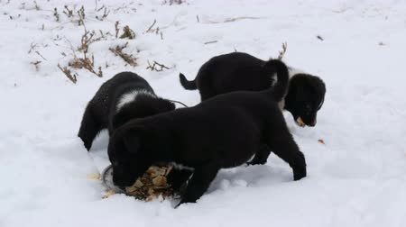 fajtiszta : Hungry puppies eat fish heads with an iron round plate. Three cute funny little black and white puppies eat on snow in winter.