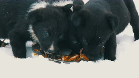 itaat : Hungry puppies eat fish heads with an iron round plate. Three cute funny little black and white puppies eat on snow in winter.